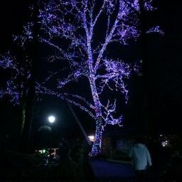 Purple tree dollywood
